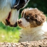 puppy and big dog nose to nose