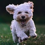 white puppy running